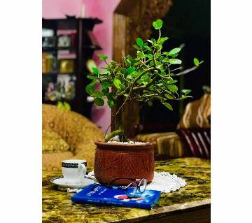 5 yrs age bonsai tree with top