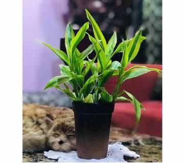 Dracena plant with ceramic top