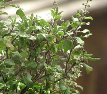 tulsi tree