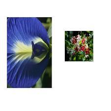 Clitoria Ternatea + Grapevine tree - Combo Offer
