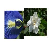 Clitoria Ternatea + Gandharaj tree - Combo Offer