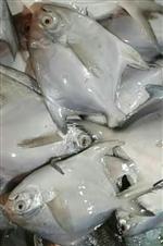 Ruppachndha fish (4-6 pcs a kg)