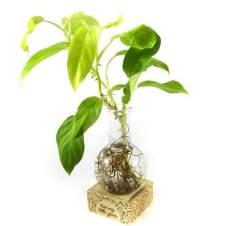 Little Green Philodendron Golden Emerald ইনডোর প্লান্ট উইথ জার