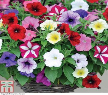 Pitunia Flower Seeds (30 seeds)