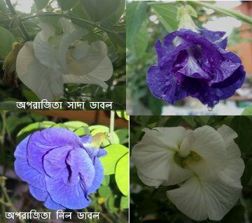 Oporajita Flower Seed (Multi Color)
