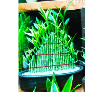 Foreign Bamboo Tree - Pyramid Shaped