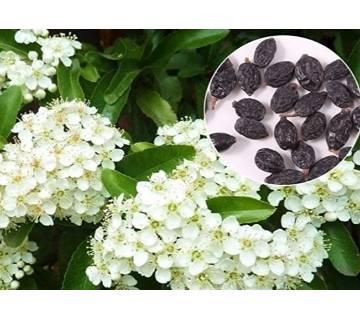 10Pcs HYDRANGEA White Flower Seeds