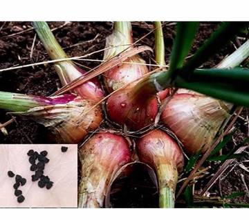 100 Pcs Seeds of Hybrid Small Onion  Shallots Sowing Growing