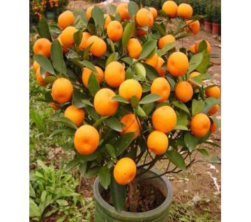 30 Pcs Orange Tree Seeds Plants