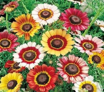 Chrysanthemum Carinatum Mixed Seed - 100 Pcs