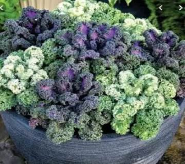 Ornamental Kale Flower Mixed Seed - 50 Pcs
