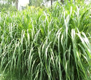 Napier grass Seed - 1 kg