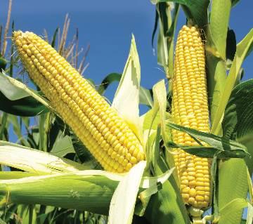 Sweet Corn Seed - 20 gm