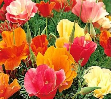 California Poppy Flower Mixed Seed - 50 Pcs