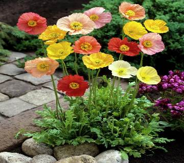 Iceland Poppy Nudicaule Mixed Seed - 100 Pcs