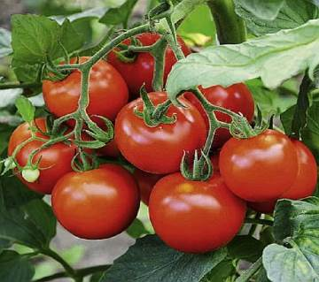 Tomato F1 Hybrid Seed - 1 Pack