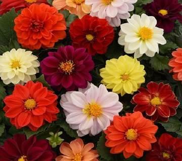 Dahlia Figaro Mixed Seeds - 50 pcs
