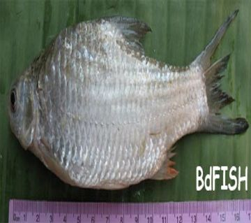 SARPUTI FISH LOCAL (HAWOR) 1KG
