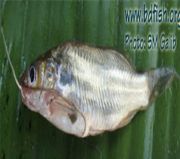 TENGRA FISH GULSHA BIG-1kg
