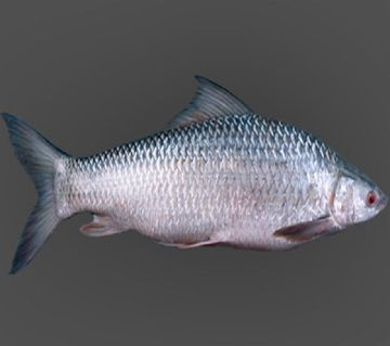 MREGEL FISH (1-2.99) KG/PC-1kg