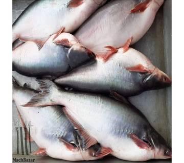 Pond Pangash Fish