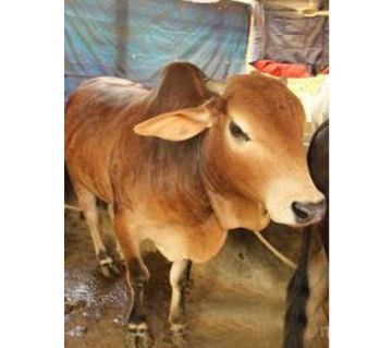 Cow for Qurbani - 006