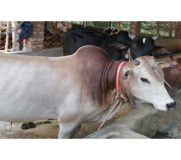 Cow for Qurbani - 009