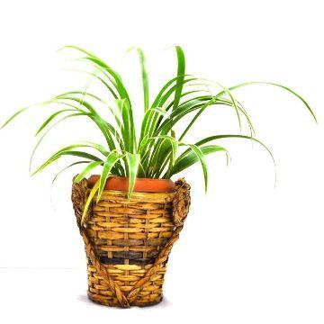 cane made Decoration plants
